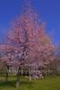 """blueheder Baum im Chinesischer Garten, """"GAERTEN DER WELT"""", Blumberger Damm / Eisenacher Strasse, Berlin, 08.04.2020"""